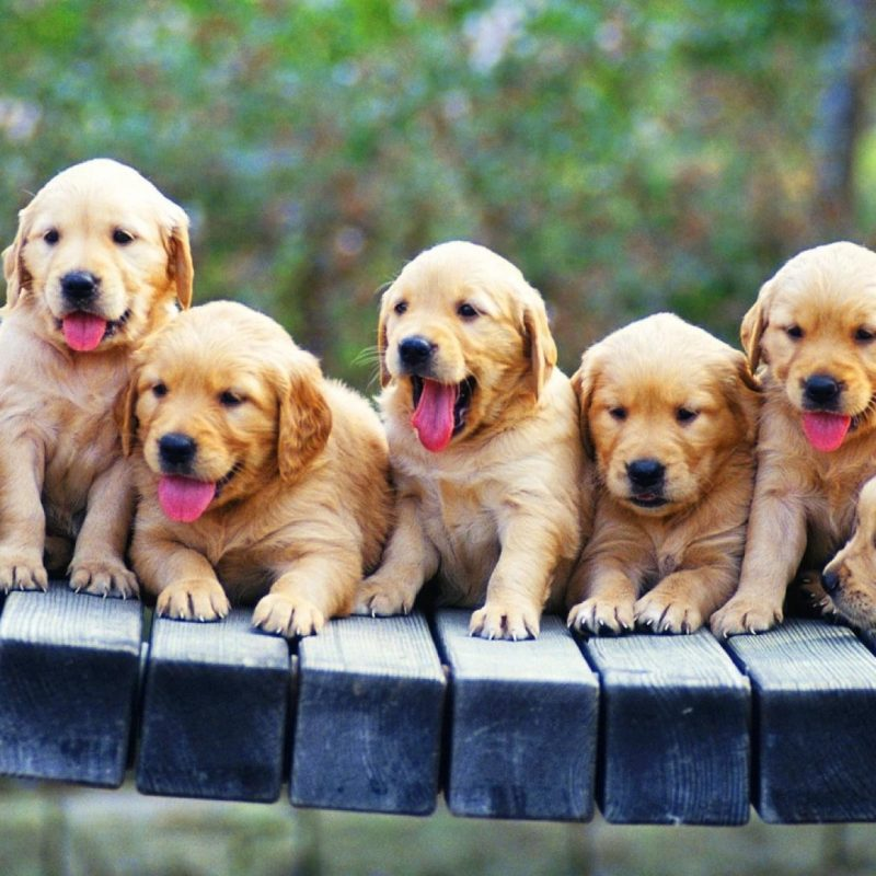 10 Most Popular Golden Retriever Puppy Wallpaper FULL HD 1920×1080 For PC Background 2018 free download golden retriever puppies wallpaper 85182 1 800x800