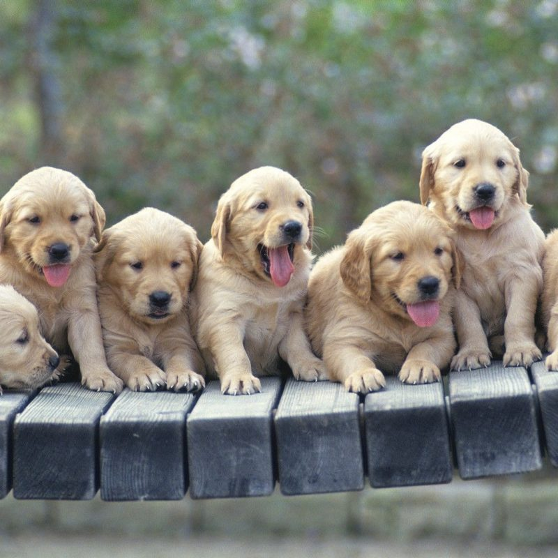 10 Most Popular Golden Retriever Puppy Wallpaper FULL HD 1920×1080 For PC Background 2018 free download golden retriever puppies wallpaper animal wallpapers 48522 1 800x800