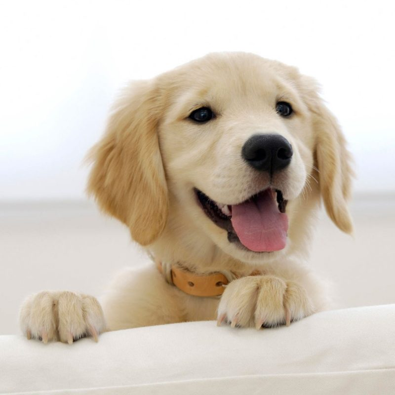 10 Most Popular Golden Retriever Puppy Wallpaper FULL HD 1920×1080 For PC Background 2018 free download golden retriever puppy wallpapers hd wallpapers id 5009 1 800x800