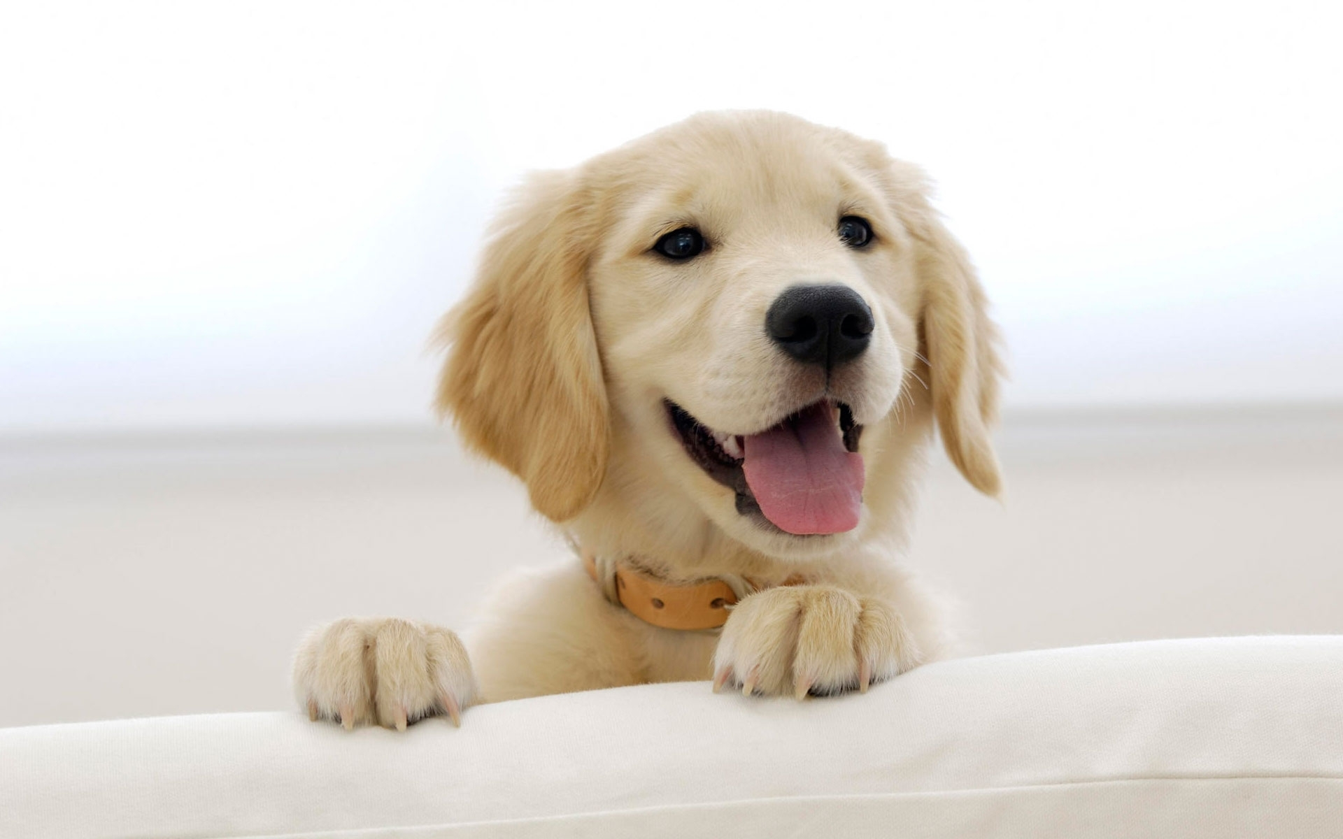 10 Most Popular Golden Retriever Puppy Wallpaper FULL HD 1920×1080 For PC Background