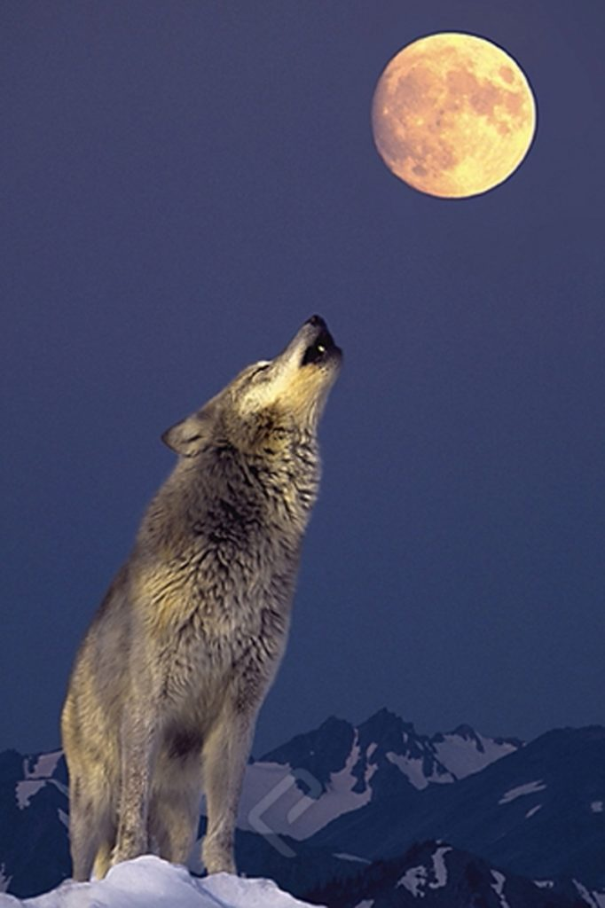 10 Latest Pics Of Wolf Howling At The Moon FULL HD 1920×1080 For PC Desktop 2018 free download gray wolf howling at the moon athena posters 682x1024