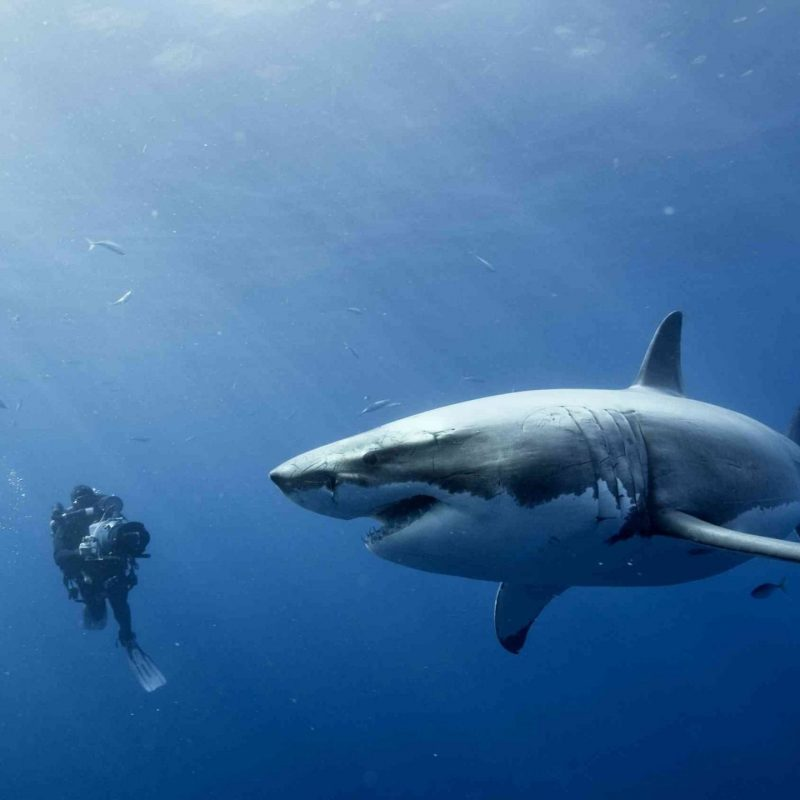 10 Top Great White Shark Wallpaper FULL HD 1080p For PC Desktop 2018 free download great white shark wallpaper free qag animals pinterest hd 800x800