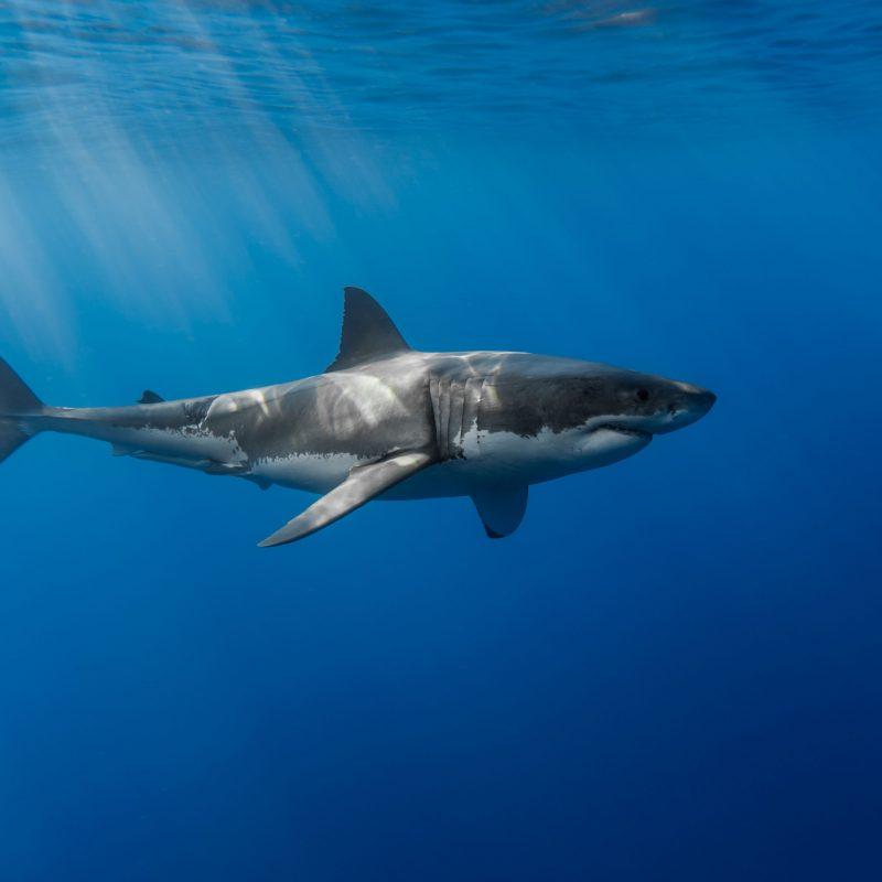 10 Top Great White Shark Wallpaper FULL HD 1080p For PC Desktop 2018 free download great white shark wallpaper widescreen 1ik animals pinterest 800x800