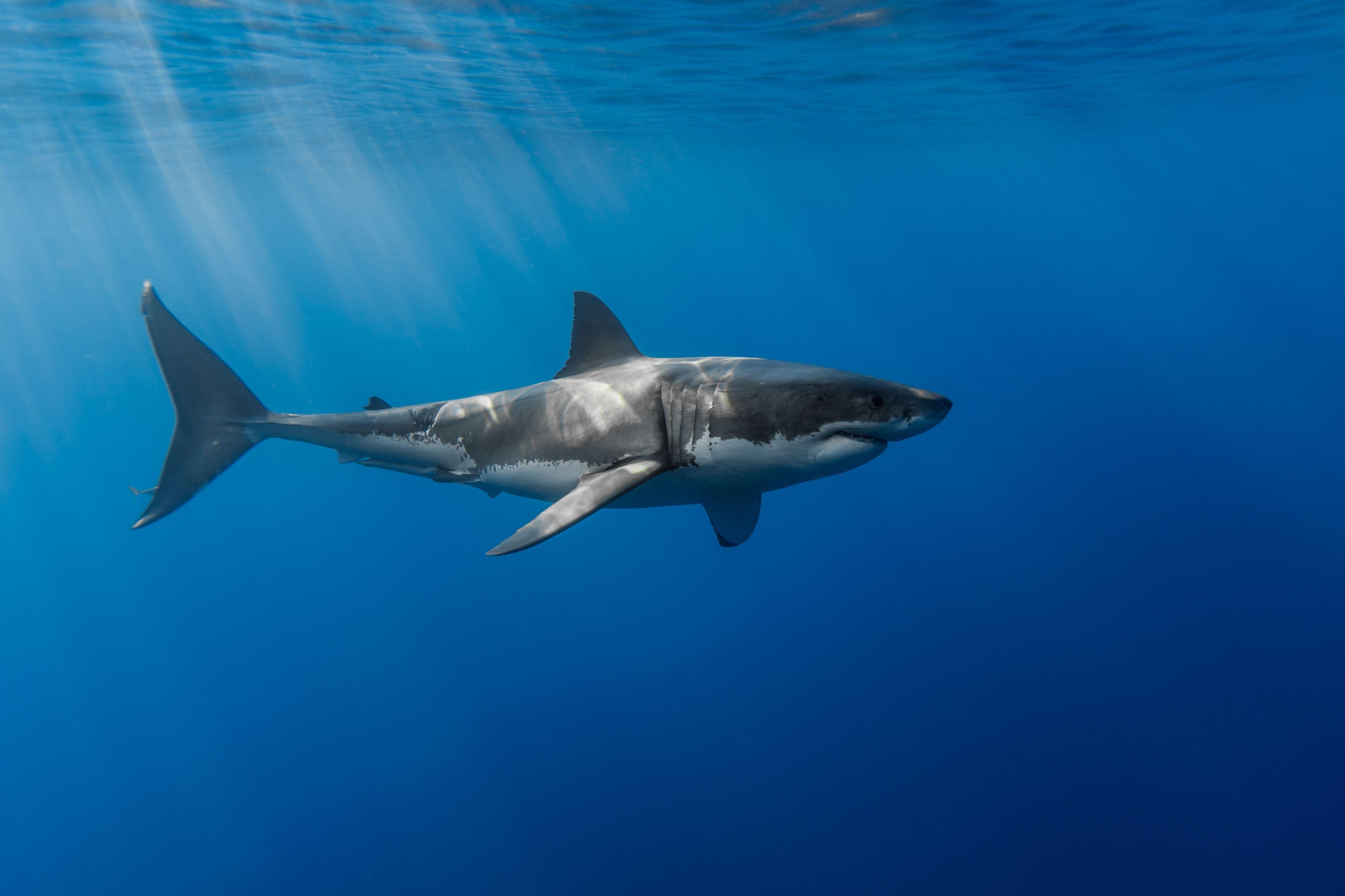 great white shark wallpaper widescreen #1ik | animals | pinterest