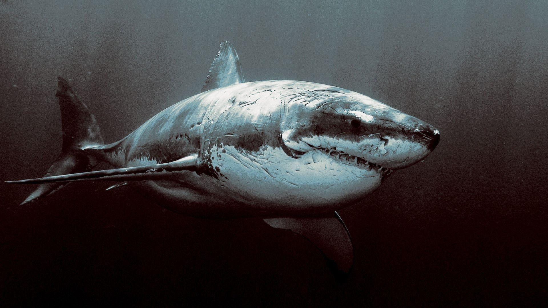 great white shark wallpapers hd - wallpaper cave