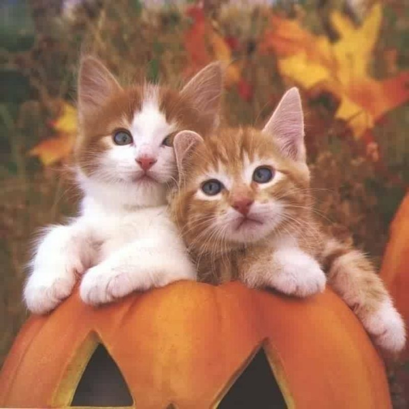 10 New Cute Halloween Kitten Wallpaper FULL HD 1080p For PC Desktop 2018 free download halloween kitten background evenets pinterest 800x800