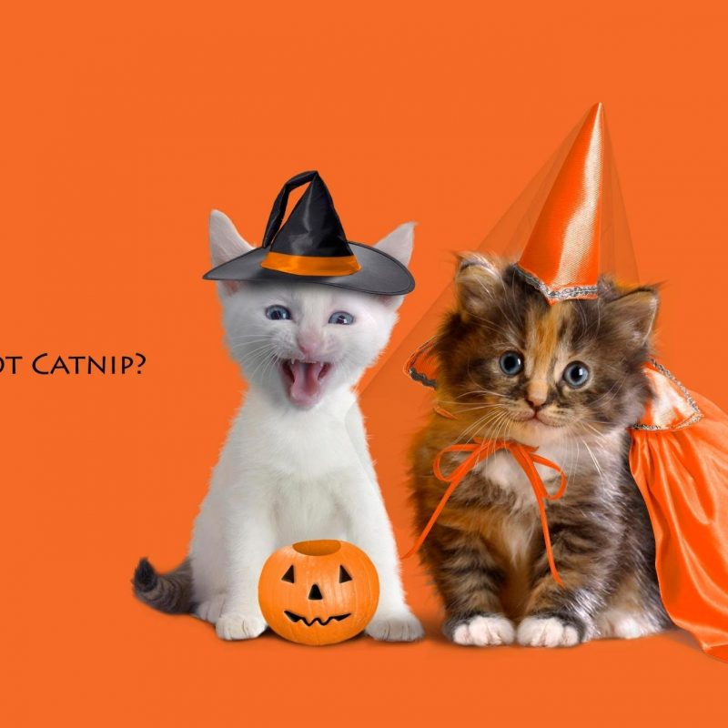10 New Cute Halloween Kitten Wallpaper FULL HD 1080p For PC Desktop 2018 free download halloween kittens full hd wallpaper and background image 2000x1330 800x800