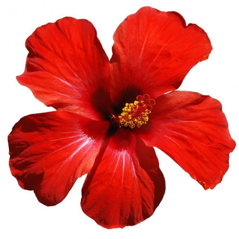10 New Pics Of Hawaii Flowers FULL HD 1920×1080 For PC Desktop 2018 free download hawaii flowers e29d80e29d81e29cbfe299a1e0bcbae299a5e0bcbbe0bcbae299a5e0bcbbe299a1e29d80e29d81e29cbfe299a1e0bcbae299a5e0bcbbe0bcbae299a5 800x800