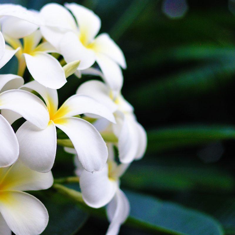 10 New Pics Of Hawaii Flowers FULL HD 1920×1080 For PC Desktop 2018 free download hawaii flowers e29da4 4k hd desktop wallpaper for 4k ultra hd tv 800x800