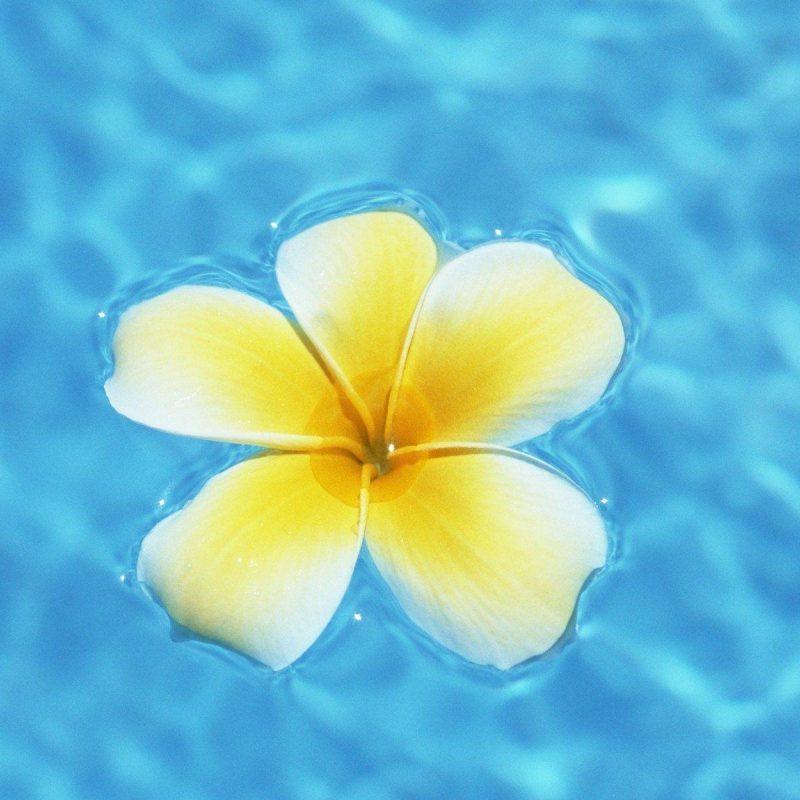 10 New Pics Of Hawaii Flowers FULL HD 1920×1080 For PC Desktop 2018 free download hawaiian flowers wallpapers wallpaper cave 800x800