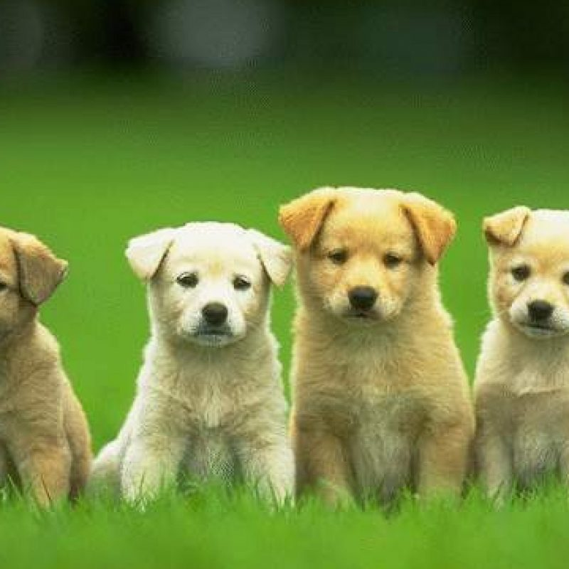 10 Top Dogs And Puppies Wallpaper FULL HD 1920×1080 For PC Background 2018 free download hd cute and funny pics of dogs and puppies 800x800