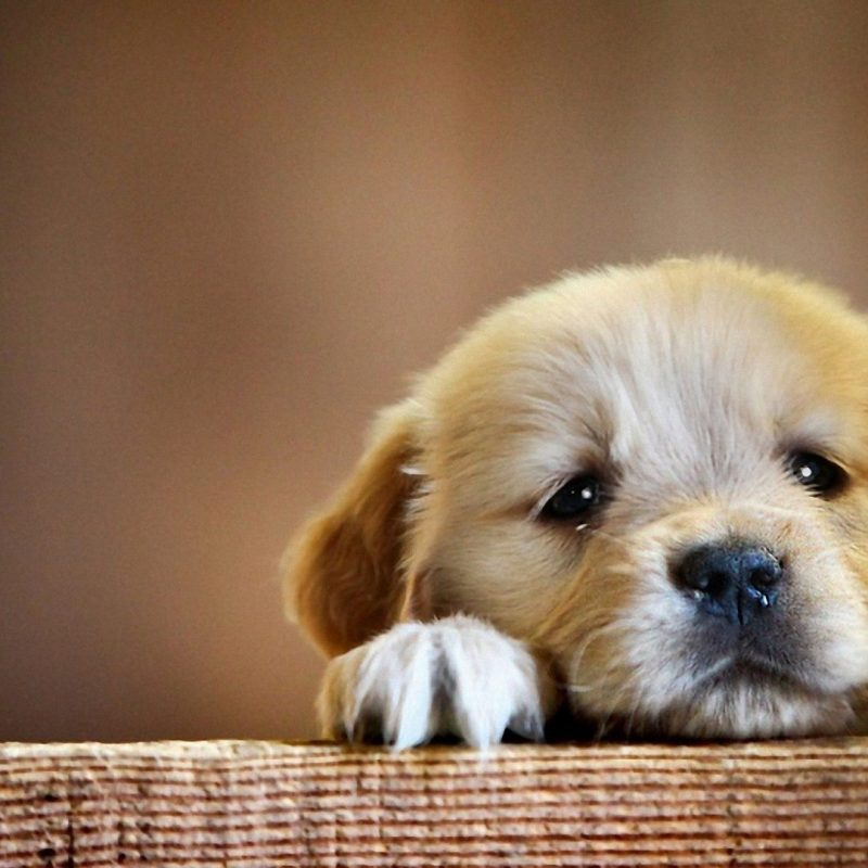 10 Most Popular Cute Puppy Wallpaper Hd FULL HD 1920×1080 For PC Background 2018 free download hd cute puppy wallpaper 2018 cute screensavers 800x800