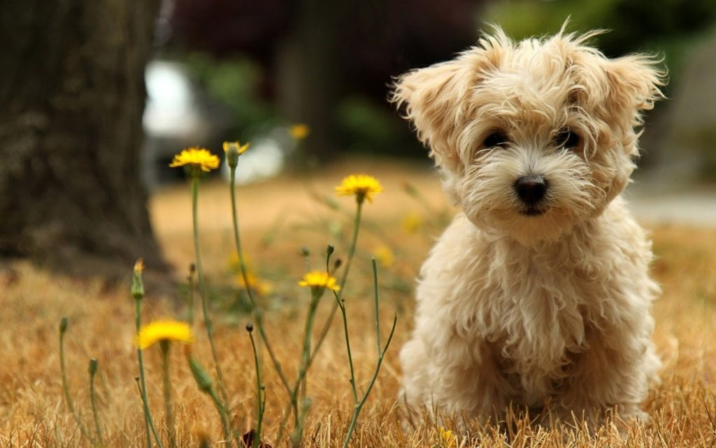 10 Most Popular Cute Puppy Hd Wallpapers FULL HD 1080p For PC Desktop 2018 free download %name