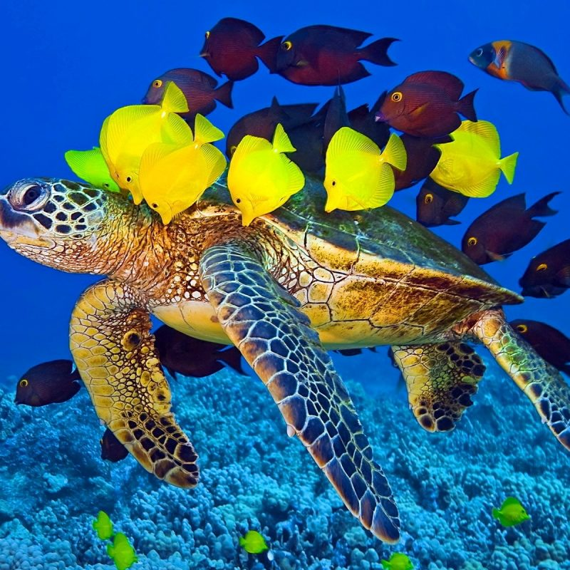 10 Top Sea Turtle Hd Wallpaper FULL HD 1920×1080 For PC Desktop 2018 free download hd sea turtle and fish wallpaper in animals download this sea 800x800