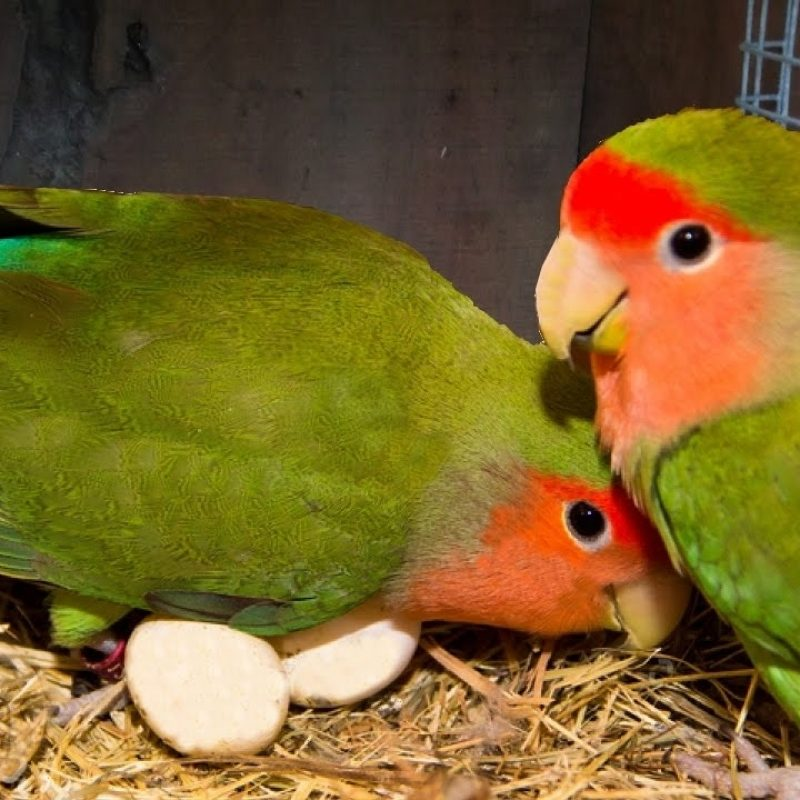 10 Latest Images Of Love Bird FULL HD 1080p For PC Background 2020 free download how to breed your lovebirds youtube 800x800