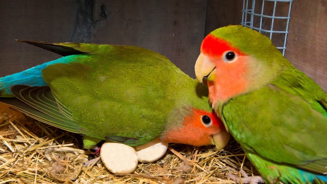 how to breed your lovebirds - youtube