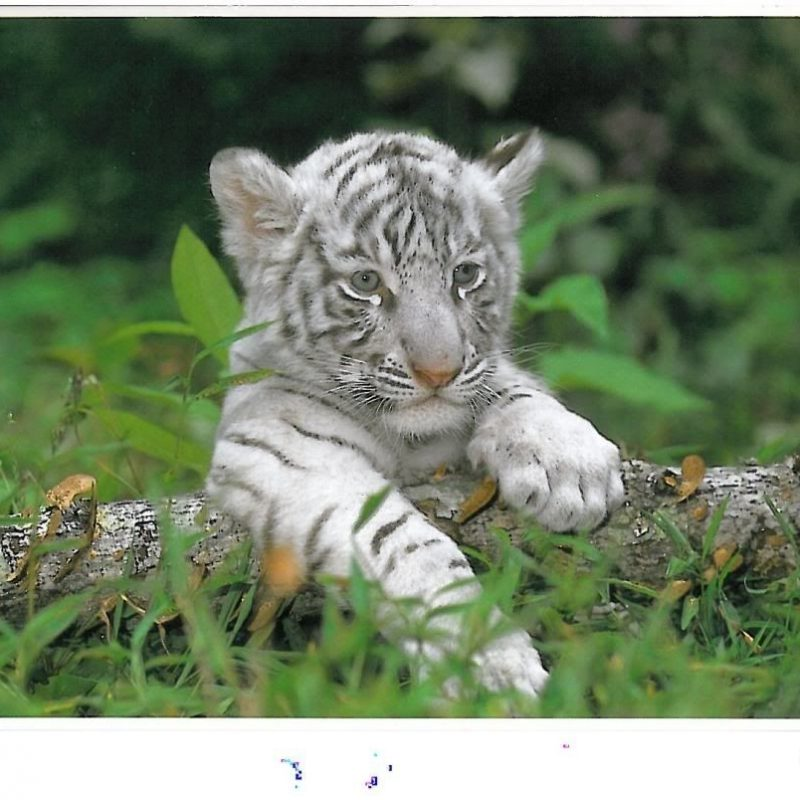 10 Latest Pictures Of Baby White Tigers FULL HD 1080p For PC Background 2020 free download i wish i could pet one what i love pinterest white tiger cubs 800x800