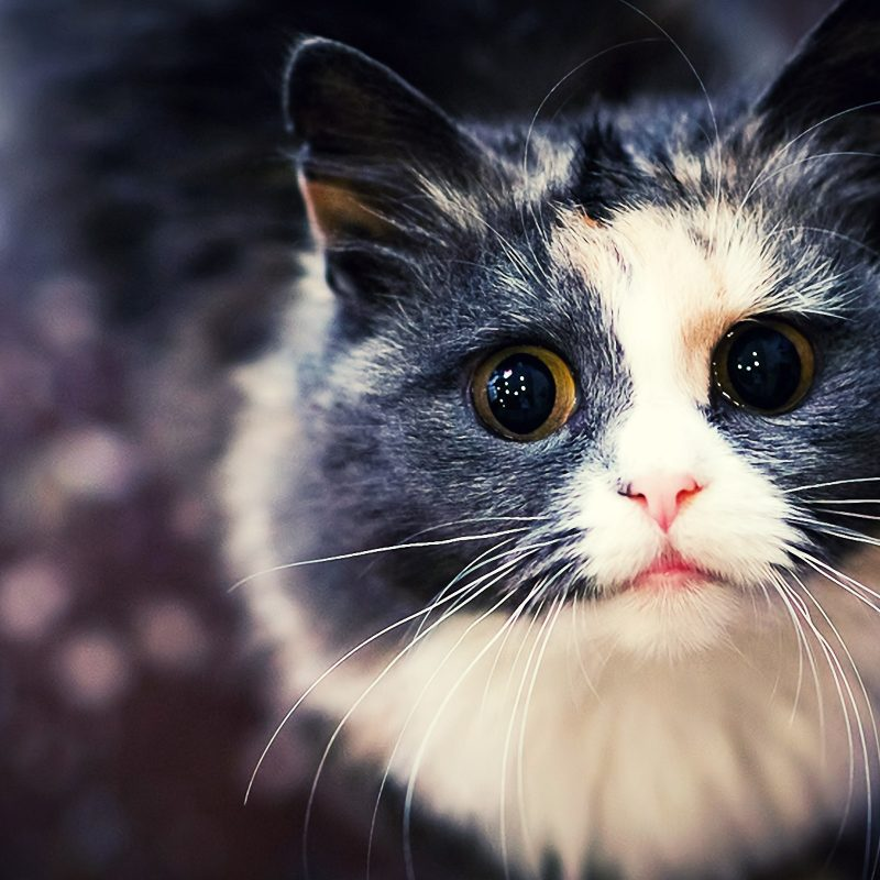 10 New Cat Backgrounds For Computer FULL HD 1080p For PC Desktop 2020 free download im only a little cat wallpapers im only a little cat backgrounds 800x800