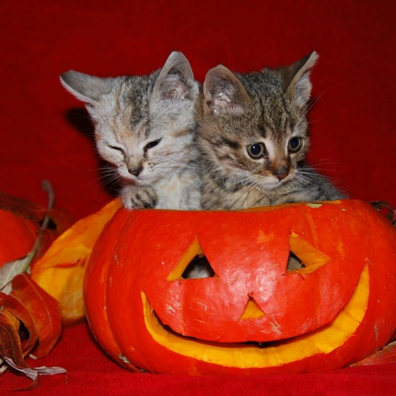 10 New Cute Halloween Kitten Wallpaper FULL HD 1080p For PC Desktop 2018 free download image detail for cute halloween kitties wallpaper autumn 1 800x800