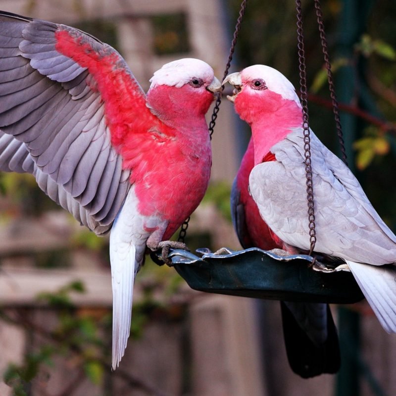10 New Beautiful Wallpapers Of Love Birds FULL HD 1920×1080 For PC Desktop 2018 free download images of love birds and wallpaper 800x800