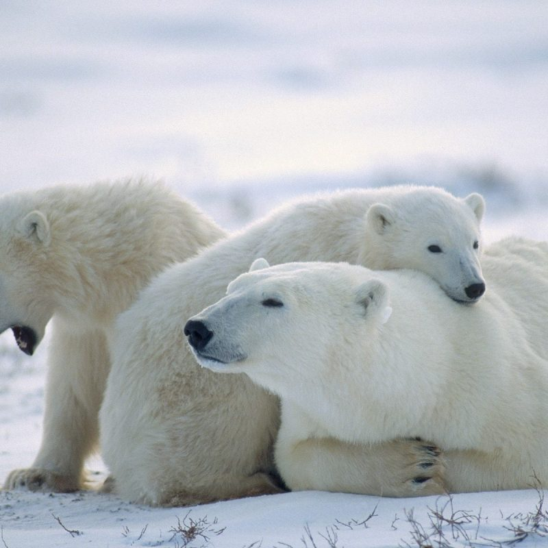 10 Best Polar Bear Desktop Wallpaper FULL HD 1920×1080 For PC Background 2018 free download index of cdn hdwallpapers 1008 800x800