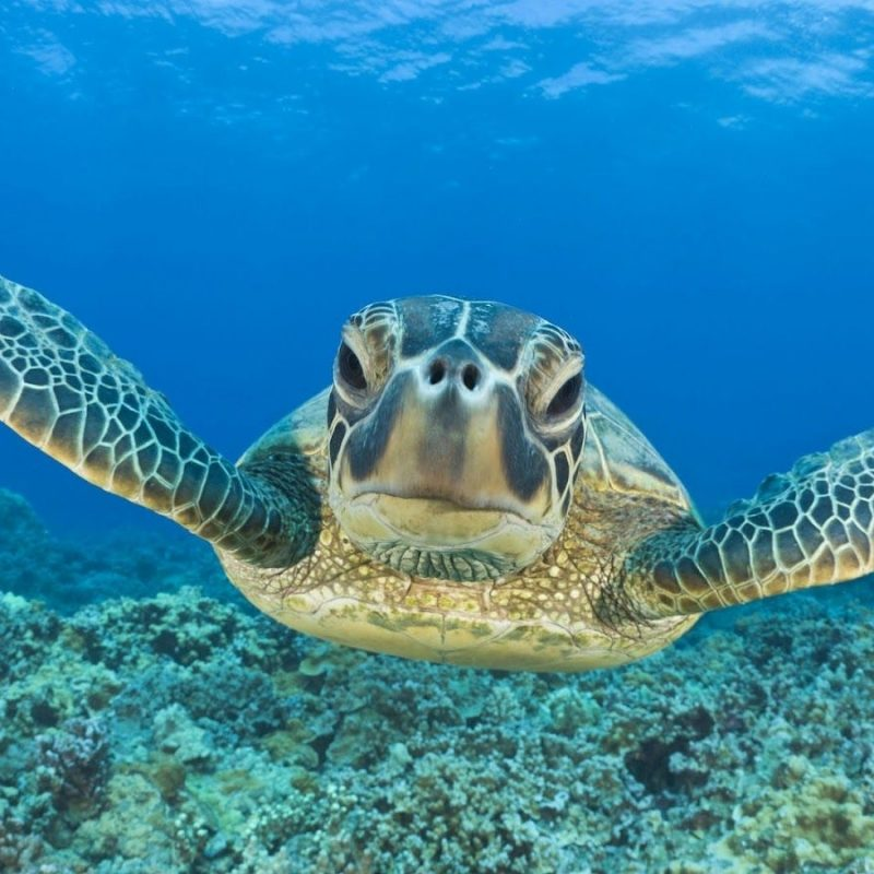 10 Top Sea Turtle Hd Wallpaper FULL HD 1920×1080 For PC Desktop 2018 free download its worth discovering photography underwater seaturtle 800x800