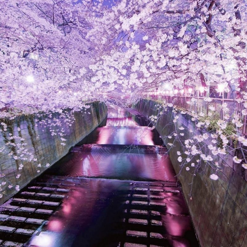 10 Latest Japanese Cherry Blossom Hd Wallpaper FULL HD 1920×1080 For PC Background 2018 free download japan cherry blossoms tokyo cityscapes wallpaper 21041 1 800x800