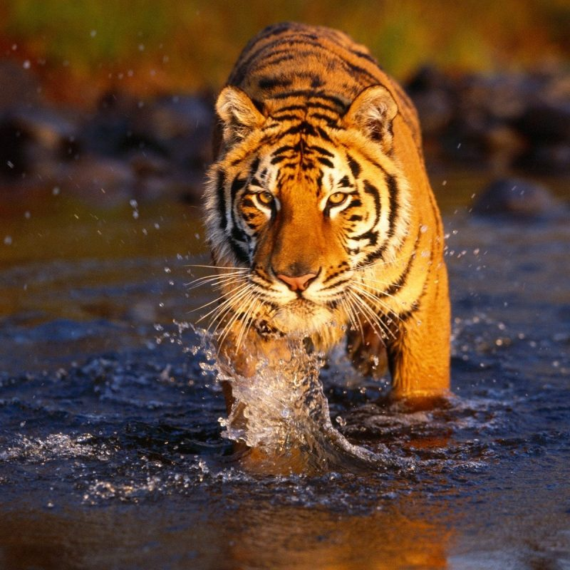 10 New Tiger Wallpaper Hd For Desktop FULL HD 1920×1080 For PC Desktop 2018 free download japan tigers hd wallpapers tiger wallpaper for desktop backgrounds 800x800