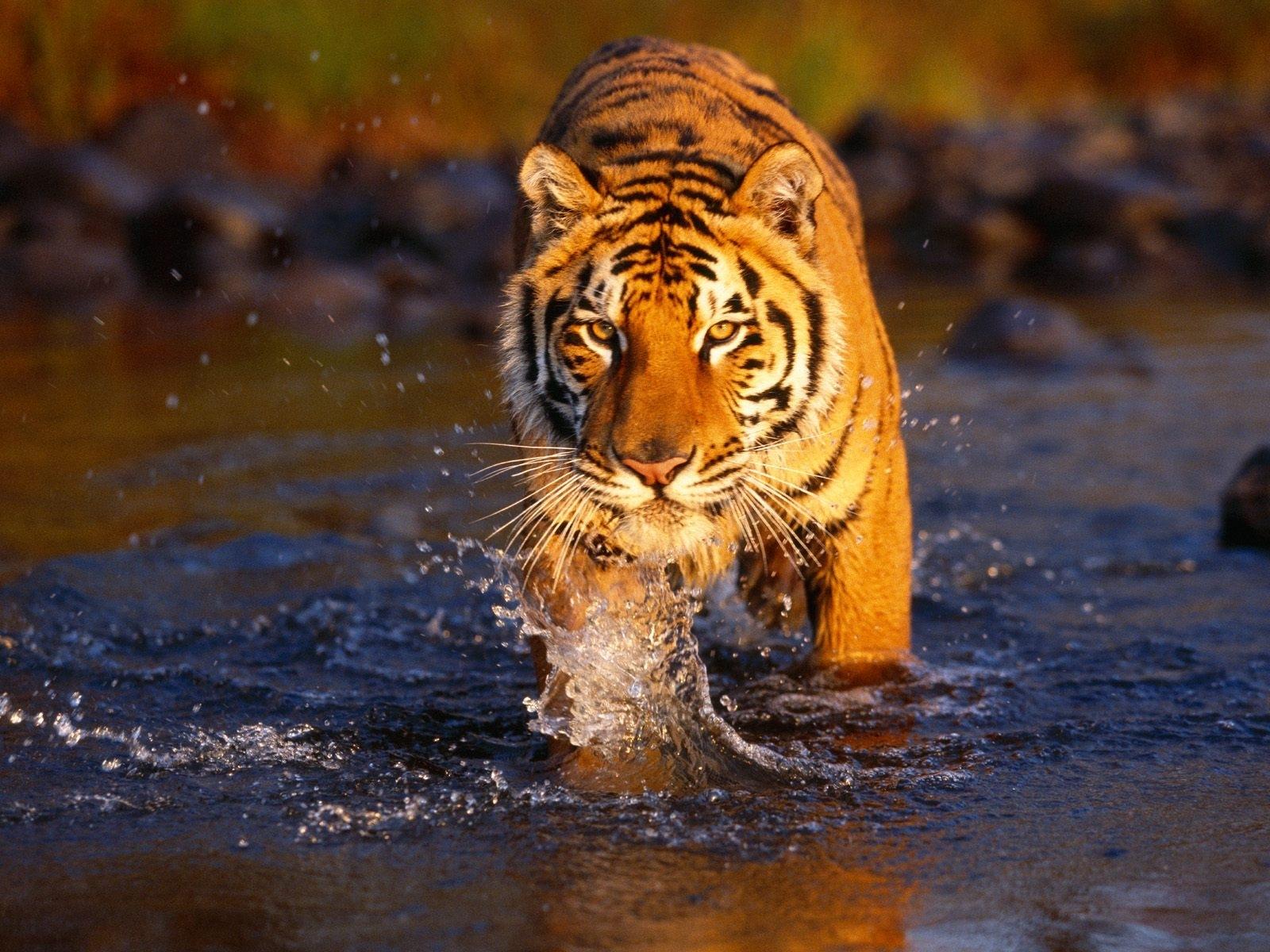 japan: tigers hd wallpapers, tiger wallpaper for desktop backgrounds