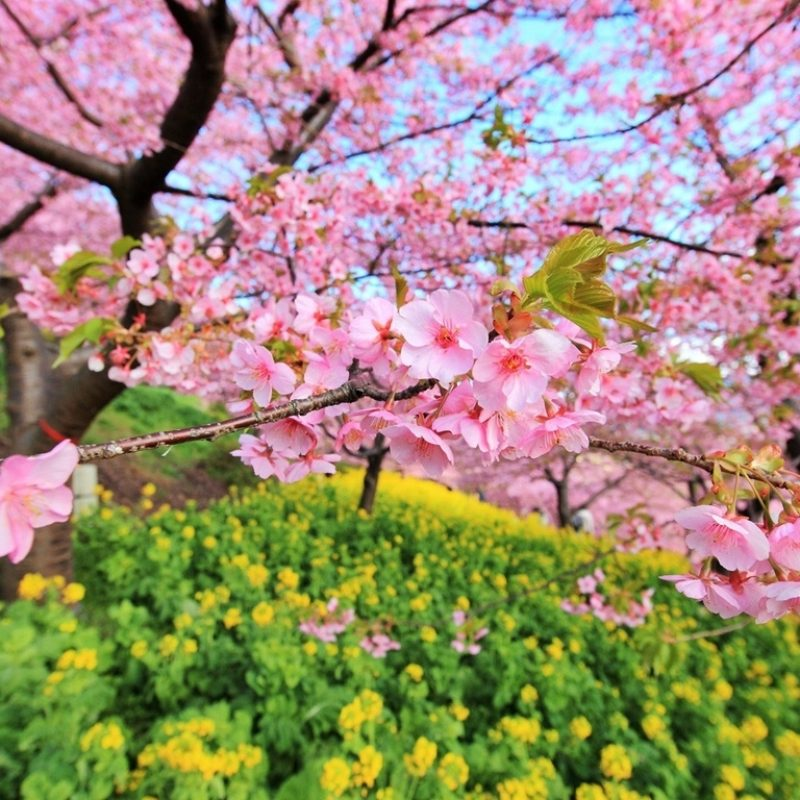 10 Latest Japanese Cherry Blossom Hd Wallpaper FULL HD 1920×1080 For PC Background 2020 free download japanese cerise arbre sakura images cerise blossom hd fond d 800x800