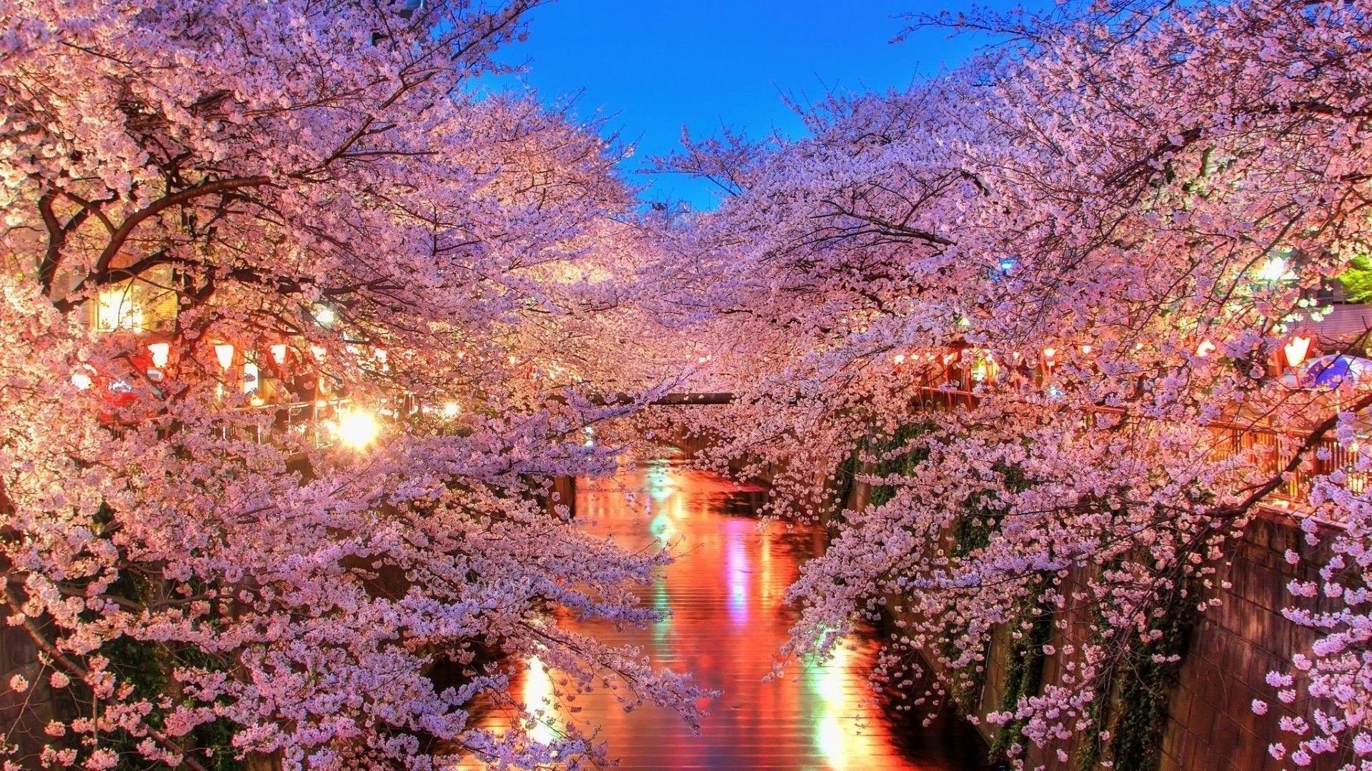 japanese cherry blossom wallpaper 1080p wallpaper | green thumb
