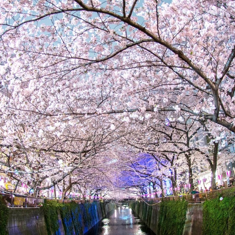 10 New Japanese Cherry Blossoms Wallpaper FULL HD 1080p For PC Desktop 2020 free download %name