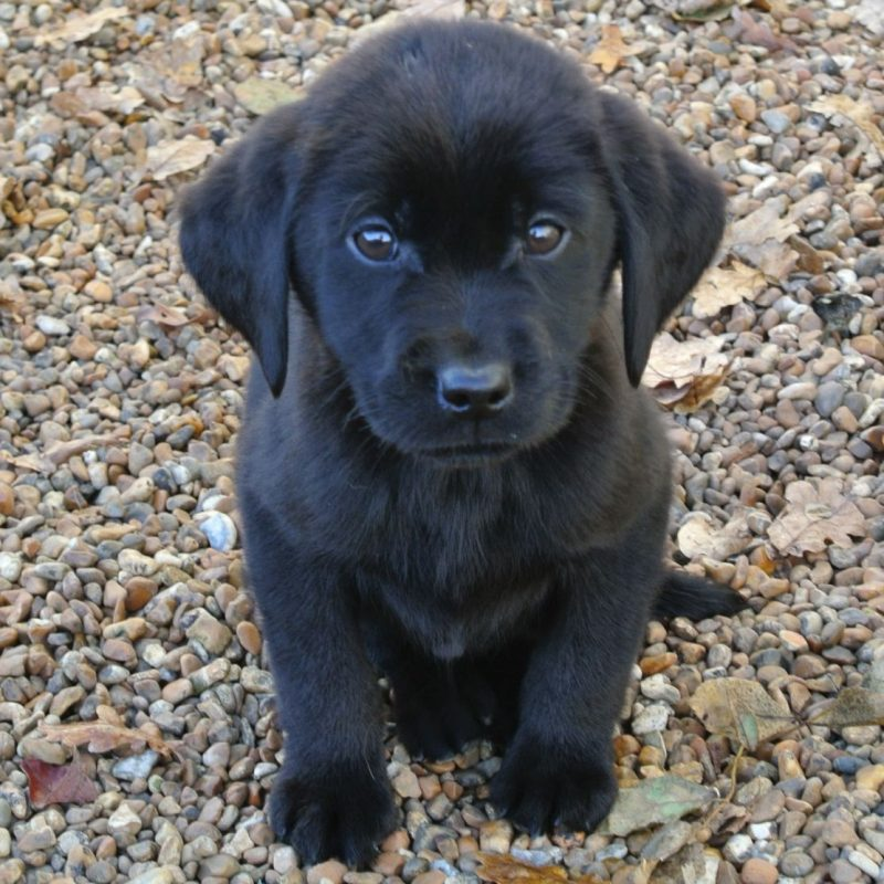 10 Best Pics Of Black Lab Puppies FULL HD 1080p For PC Background 2021 free download k c reg black labrador puppies ashford kent pets4homes 800x800