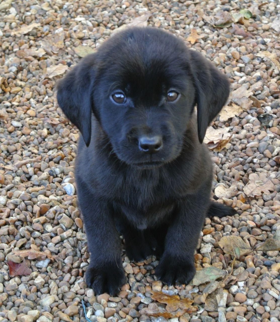 k.c reg black labrador puppies | ashford, kent | pets4homes