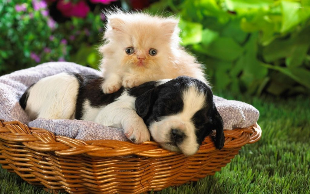 10 New Puppies And Kittens Backgrounds FULL HD 1080p For PC Desktop 2018 free download kitten and puppy hd wallpaper hd wallpapers pinterest hd 1024x640