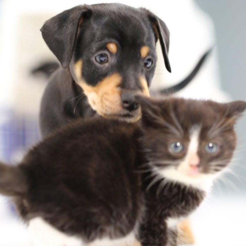 10 Latest Cute Puppy And Kitten Pics FULL HD 1920×1080 For PC Desktop 2020 free download kittens meet puppies for the first time youtube 1 800x800