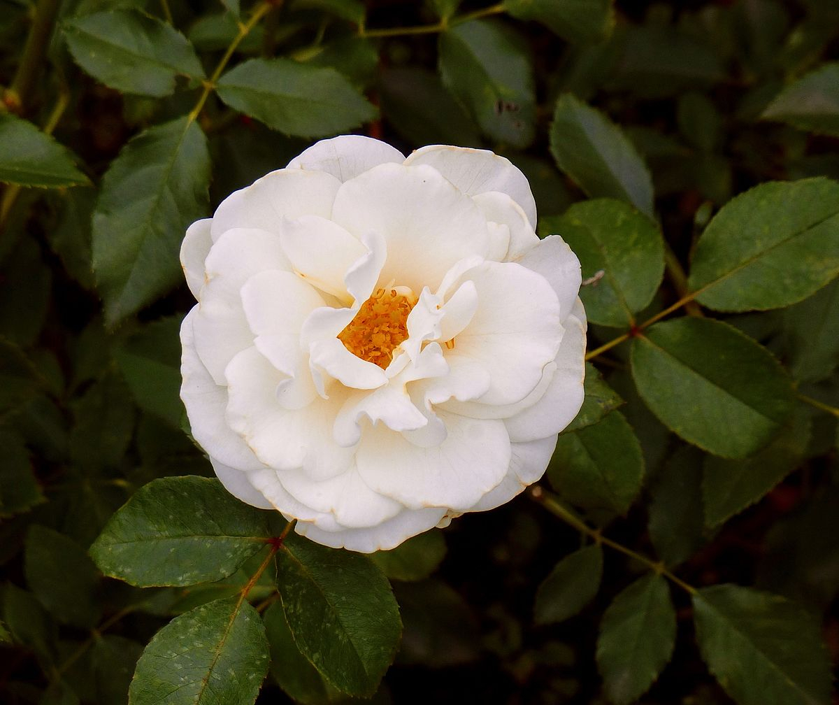 kristall (rose) – wikipedia