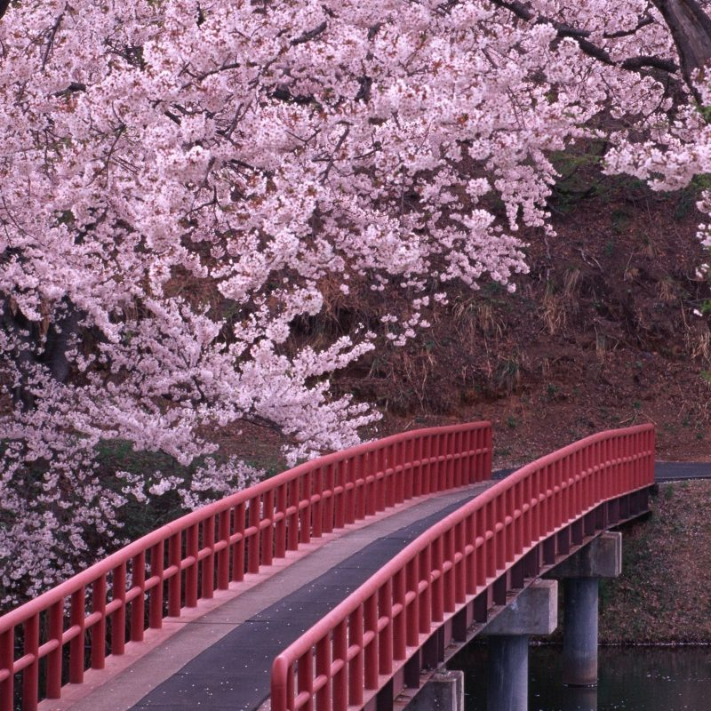 10 New Japanese Cherry Blossoms Wallpaper FULL HD 1080p For PC Desktop 2018 free download landscapes cherry blossoms flowers bridges fresh new hd wallpaper 1 800x800