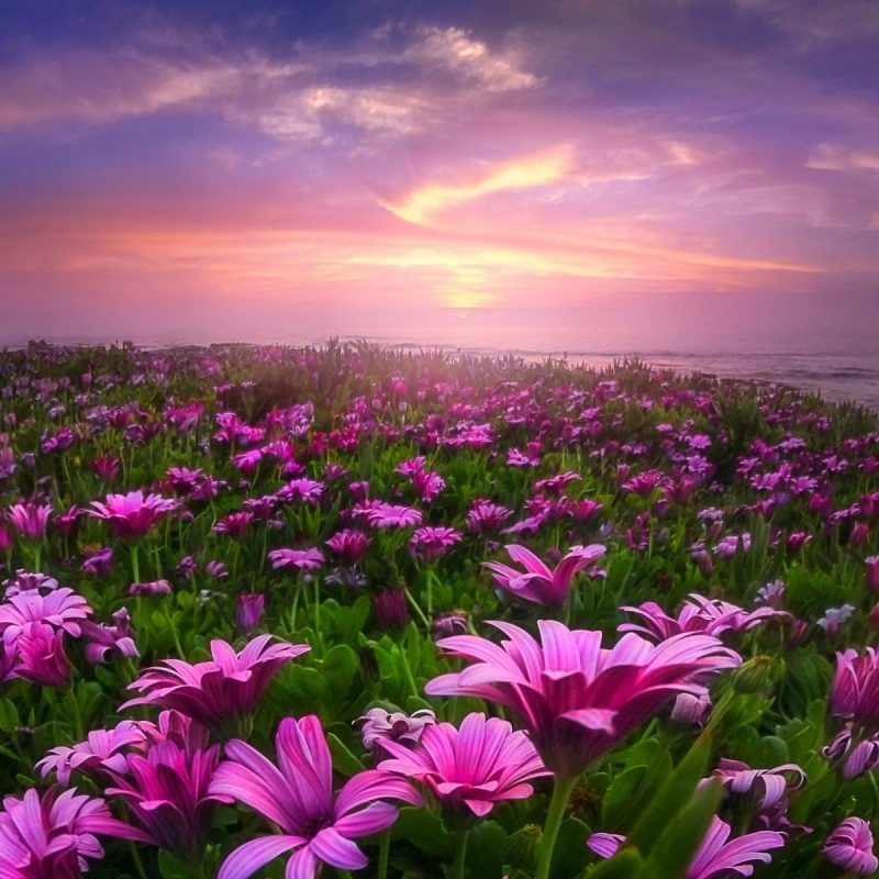 10 Most Popular Field Of Flowers Background FULL HD 1920×1080 For PC Background 2021 free download lavender field of flowers wallpaper hd hd desktop background 800x800