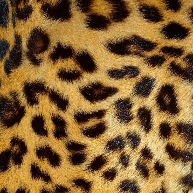 10 Top Leopard Print Wallpaper Hd FULL HD 1920×1080 For PC Background 2020 free download leopard wallpapers animal spot 800x800