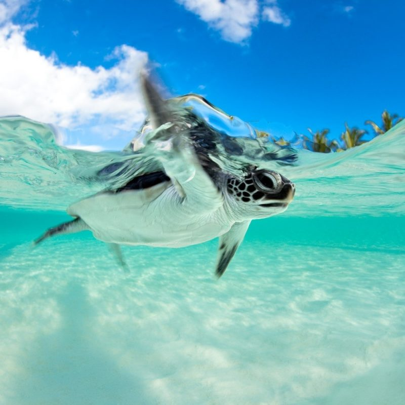 10 Best Baby Sea Turtle Wallpaper FULL HD 1080p For PC Background 2018 free download lets work together and save turtles 1 800x800