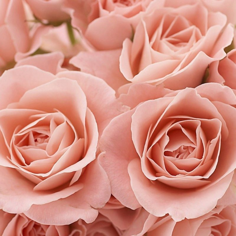 10 New Light Pink Rose Background FULL HD 1920×1080 For PC Desktop 2018 free download light pink roses background tumblr light pink roses tumblr 1 800x800