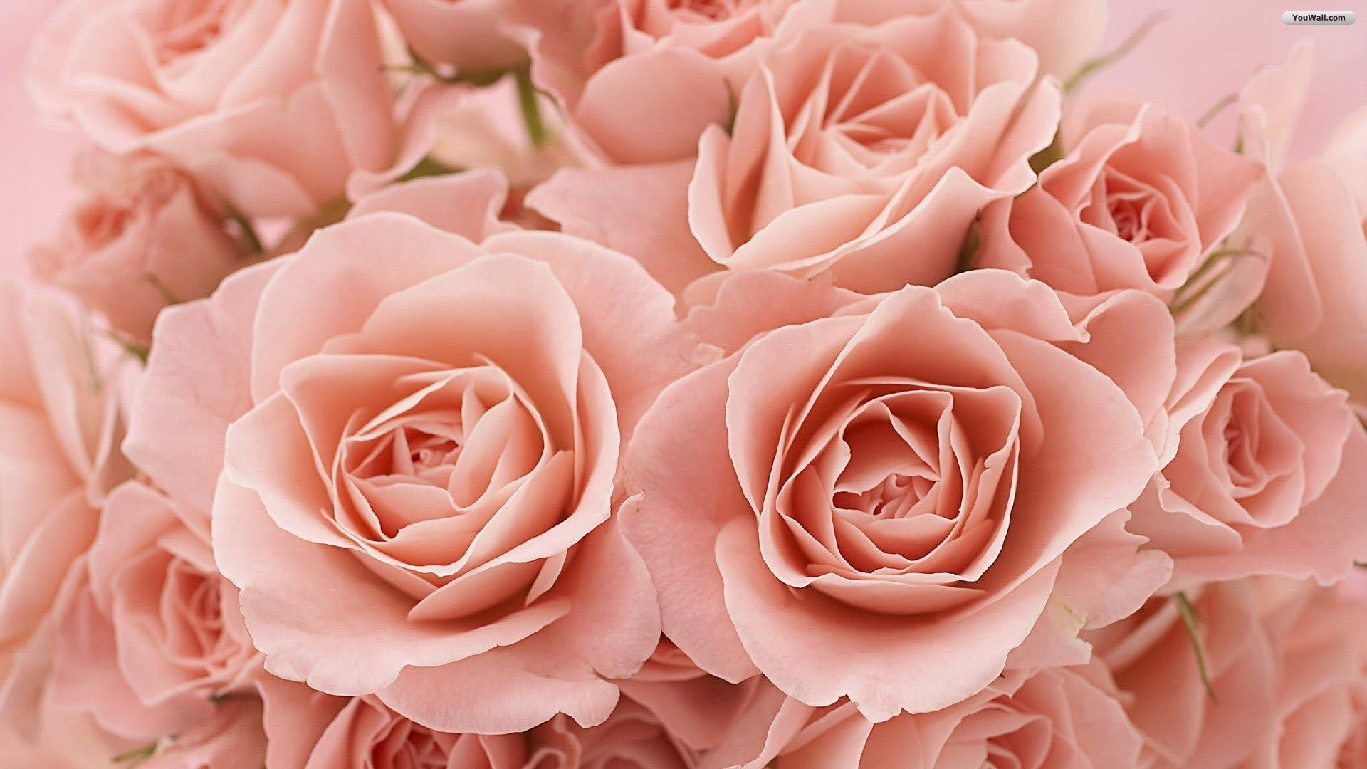 light pink roses background tumblr light pink roses tumblr