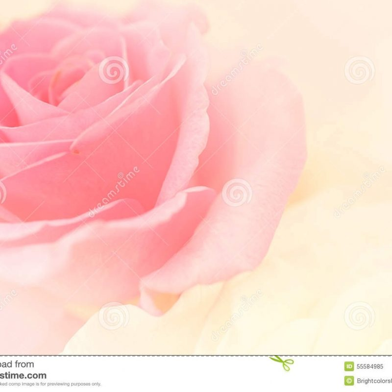 10 New Light Pink Rose Background FULL HD 1920×1080 For PC Desktop 2018 free download light pink roses in soft color and blur style stock image image of 800x800
