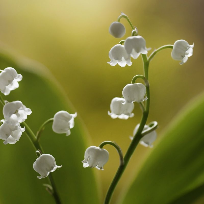 10 Most Popular Lily Of The Valley Wallpaper FULL HD 1920×1080 For PC Background 2018 free download lilies of the valley white little flowers wallpaper flowers 800x800