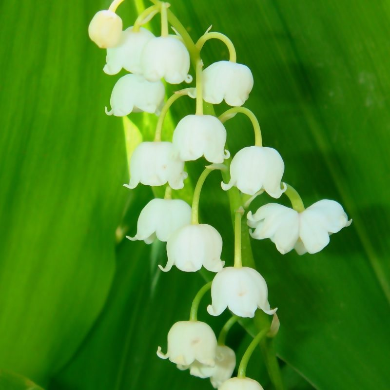 10 Most Popular Lily Of The Valley Wallpaper FULL HD 1920×1080 For PC Background 2020 free download lily of the valley 6 wallpaper flower wallpapers 11777 800x800
