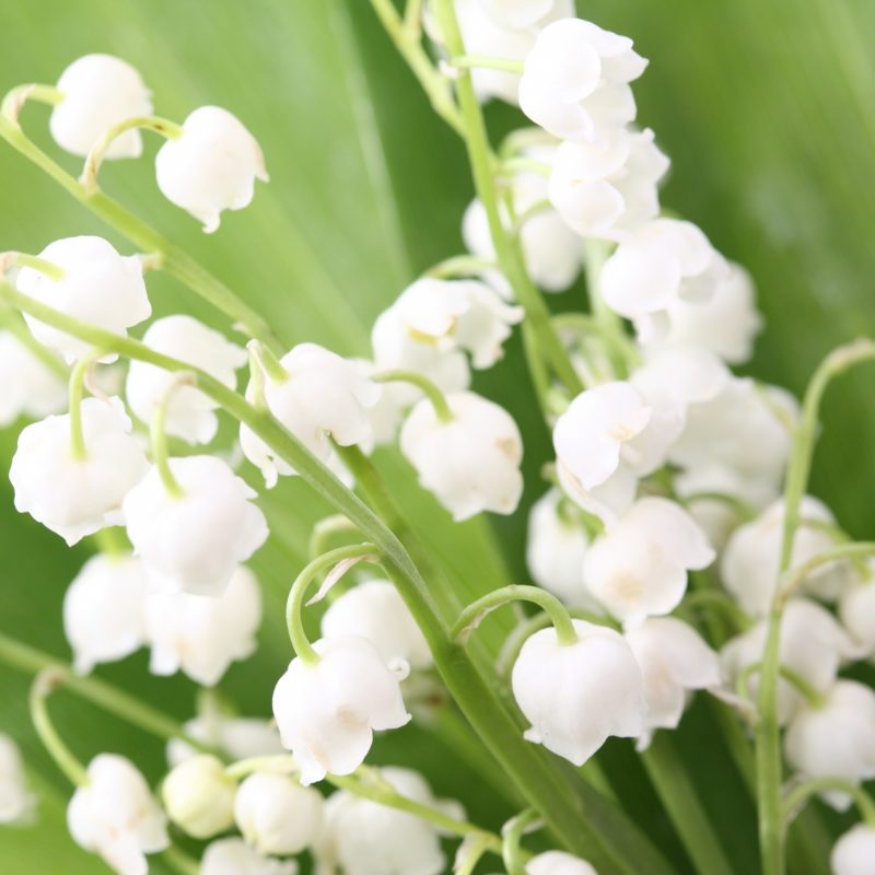 10 Most Popular Lily Of The Valley Wallpaper FULL HD 1920×1080 For PC Background 2018 free download lily of the valley e29da4 4k hd desktop wallpaper for 4k ultra hd tv 1 800x800