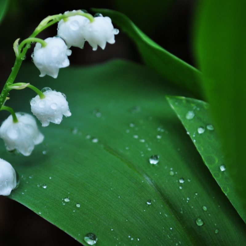 10 Top Lily Of The Valley Wallpapers FULL HD 1080p For PC Background 2018 free download lily of the valley e29da4 4k hd desktop wallpaper for 4k ultra hd tv 2 800x800