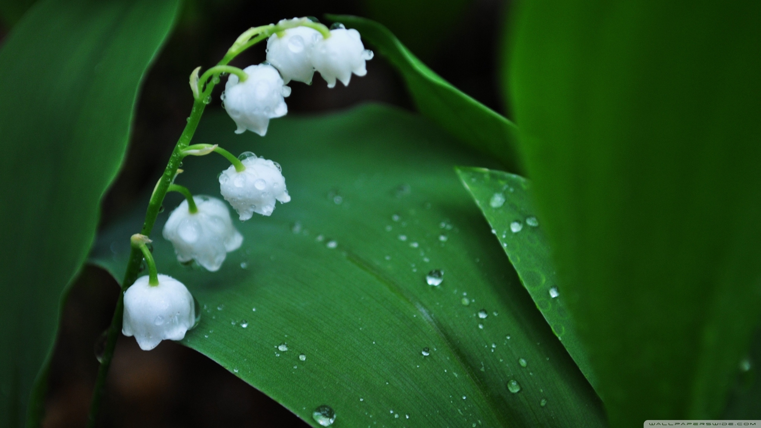 lily of the valley ❤ 4k hd desktop wallpaper for 4k ultra hd tv