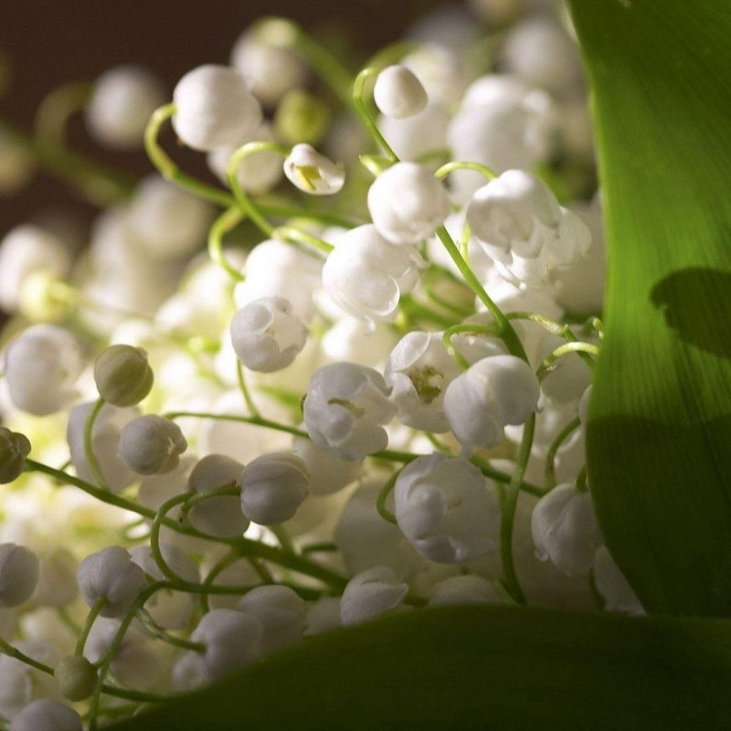 10 Top Lily Of The Valley Wallpapers FULL HD 1080p For PC Background 2018 free download lily of the valley wallpapers wallpaper cave 1 800x800